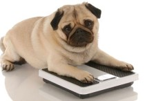obese-dog-on-scales